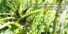 Hormigas pastoreando pulgones en un cardo del bosque El Forestal