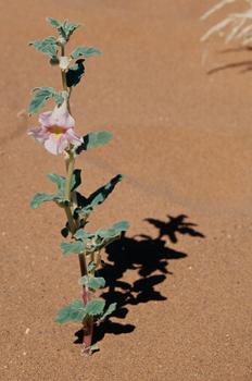 Flor en el desierto, Namibia