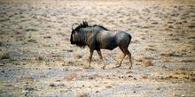 ñu, Namibia