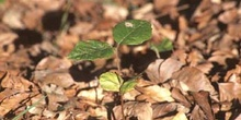 Haya - Planta jóven (Fagus silvatica)