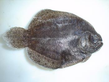 Pez plano (Trimectes maculatus)