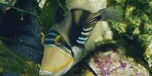 Pez ballesta picasso (Rhineacanthus aculeatus)
