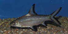 Tiburon plata (Balantiocheilus melanopterus)