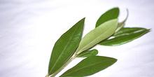 Hojas de olivo