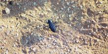 Escarabajo del Kalahari, Namibia