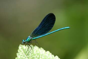 Caballito del diablo azul (Calopteryx virgo)