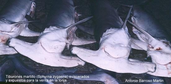 Tiburones martillo en la lonja