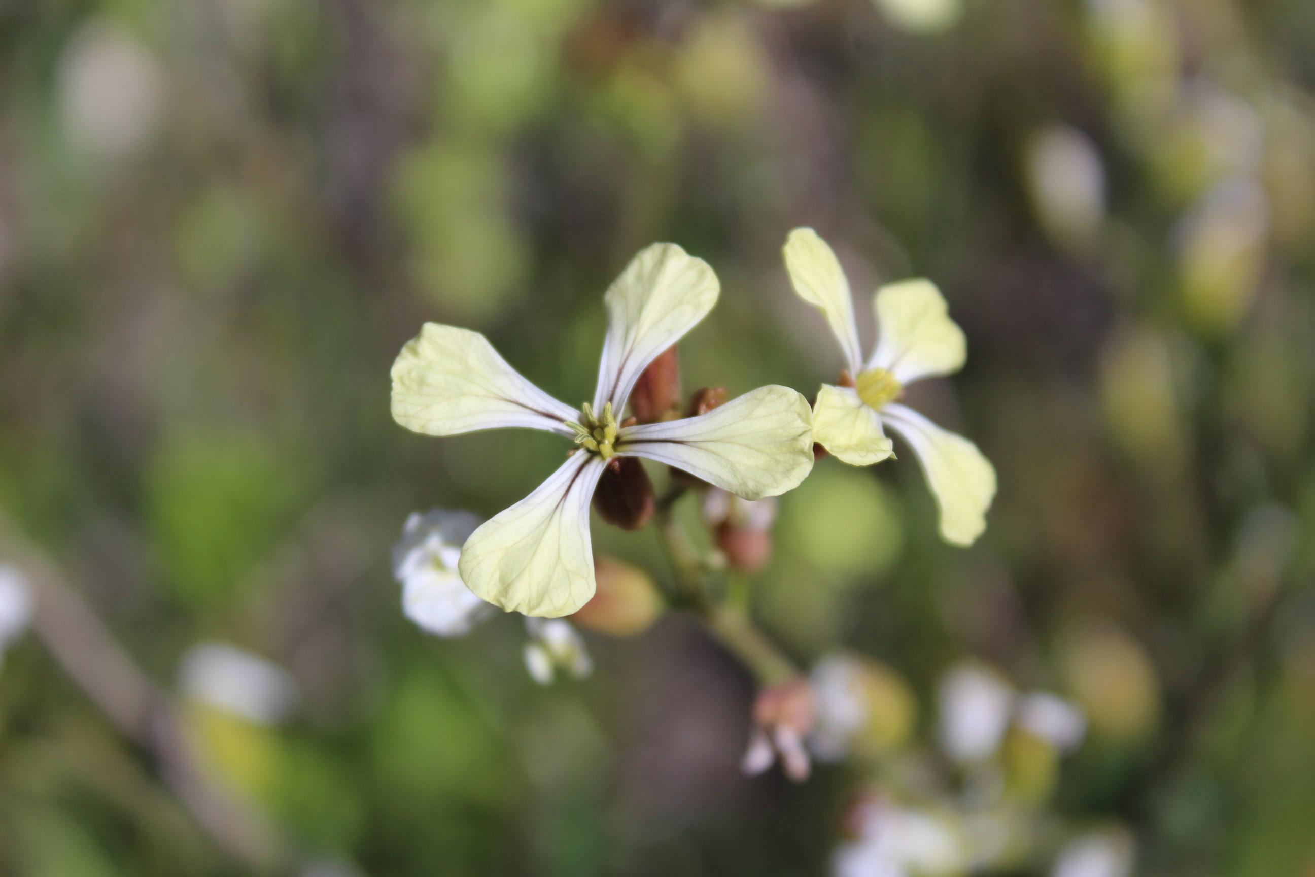 Brassica nigra_3