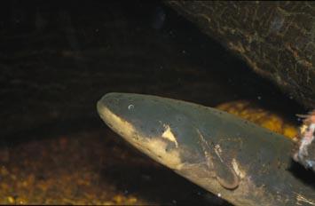 Anguila electrica (Electrophorus electricus)