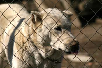 Perro (Canis lupus familiaris)