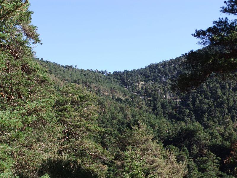 Daños de Diprion pini