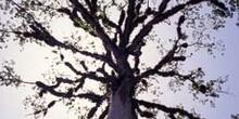 árbol, Tikal, Guatemala