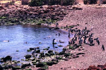 Pingüinos de Magallanes, Argentina