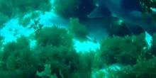 Tiburón nodriza (Ginglymostoma cirratum)