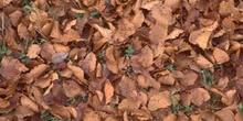 Haya - Suelo (Fagus silvatica)