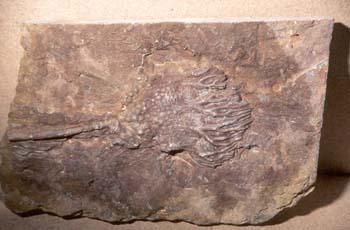 Scyphocrinites (Crinoideo) Devónico