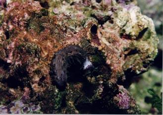 Pepino de mar (Holoturia)