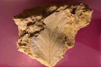 Hoja de haya (Angiosperma) Holoceno