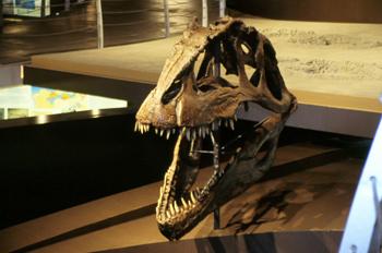 Giganotosaurus carolinii (Dinosauria, Theropoda), Museo del Jurá