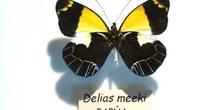 Delias meeki (Nueva Guinea)