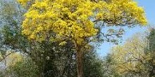 Árbol amarillo
