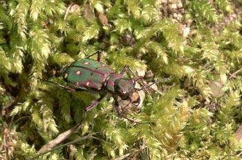 Escarabajo tigre (Cicindela maroccana)