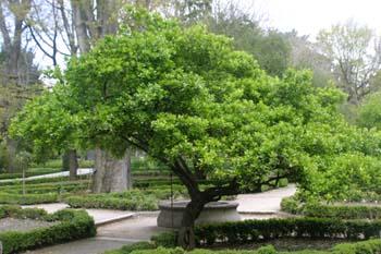 Bonetero del Japón (Euonymus japonicus)