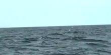 Ballena jorobada 2 (Megaptera novaeangliae)