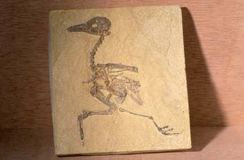 Gallinácea (Aves) Eoceno