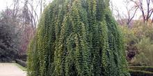 Jazmín de invierno (Jasminum mesnyi Hance)