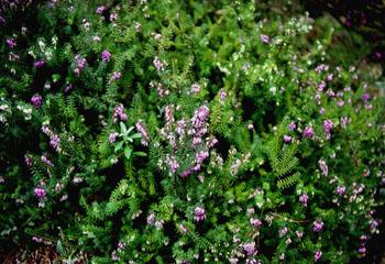 Mata de flores violetas de cerastium