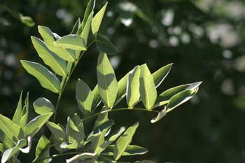 Falsa acacia de Japón - Hoja (Sophora japonica)