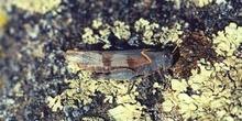 Saltamontes de tierra (Oedipoda sp.)