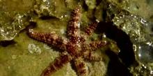 Estrella de espinas finas (Coscinasterias tenuispina)