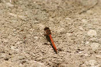 Libélula flecha roja (Sympetrum sanguineum)