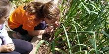 2019_06_07_Los alumnos de Quinto observan los insectos del huerto_CEIP FDLR_Las Rozas 9