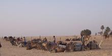 Camellos, Douz, Túnez
