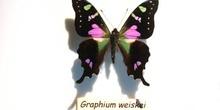 Graphium weiskei (Nueva Guinea)