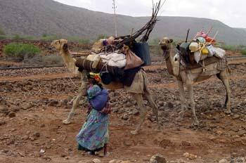 Dromedario cargado, Rep. de Djibouti, áfrica