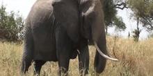 Elefante africano Loxodonta africana Blumenbach, 1797