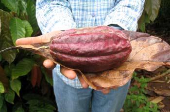 Fruto del cacao, Ecuador