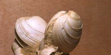 Callista itálica (Molusco Bivalvo) Mioceno