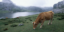 Vaca en Lagos de Covadonga, Asturias