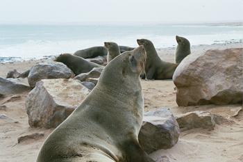Desfile de focas, Namibia
