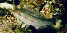 Labrido (Symphodus cinereus)