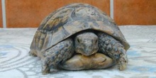 Tortuga mora (Testudo graeca)