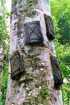 Primer plano de féretros en árbol, Sulawesi, Indonesia