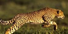 """P1_LG Descripción """"El guepardo"""""""