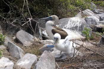 Nido de piquero patas azules, Ecuador
