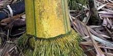Tronco de bambú y raíces, Ecuador